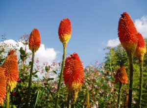 Kniphofia uvaria Nobilis ,at Hilltop Garden,the original plant coming from Great Dixter.