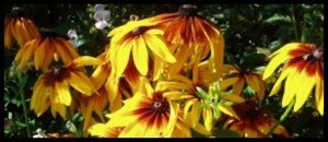 Annual Rudbeckias look terrific in sunny places