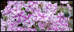 Phlox Natascha, forever popular with visitors.